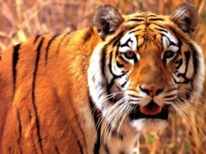 la tigre di asia