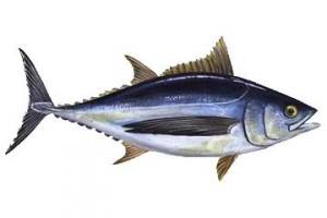 tonno bianco